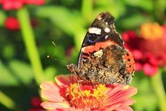 Makro- motyliego Vanessa atalanta zbieracki nektar na cyniach Fotografia Stock