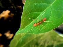 Makro- mrówka i zieleń liście Obrazy Royalty Free