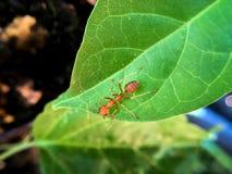Makro- mrówka i zieleń liście Zdjęcia Royalty Free