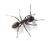 Makro- mrówka nad bielem Obrazy Royalty Free