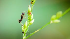 Makro- mrówka portret, Czarna mrówka Obrazy Stock