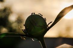 Makro- mrówki na peoni przy zmierzchem obraz stock