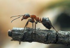 Mrówki zdjęcie royalty free