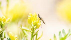 Makro- muszka Zapyla Wildflower na Pawnee obszarach trawiastych Zdjęcia Royalty Free