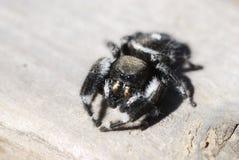 Makro mutige springende Spinne Stockfotos