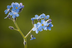 Makro of Myosotis blossoms Royalty Free Stock Photo