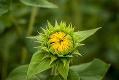 Makro/nära upp av en liten gul solros med stängda kronblad och gröna sidor arkivbilder
