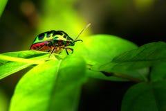 Makro-/närbildskott av en skinande gräsplanskalbagge Fotografering för Bildbyråer