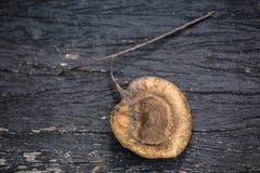 Makro nah oben vom angsana Casuarina-Baumsamen auf hölzerner Planke des dunklen Hintergrundes stockfotografie