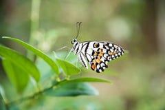 Makro nah oben vom schönen Schmetterling auf einem grünen Blatt Lizenzfreies Stockbild