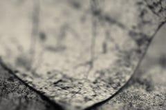 Makro nah oben vom toten Blatt des Details, das auf dem Boden in Schwarzweiss liegt Lizenzfreies Stockbild