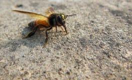 Makro nah oben von der Honigbiene mit Blütenstaubkörnern und Honigspuren auf Kopf- und Blütenstaubkämmen auf Hinterbeinen Lizenzfreie Stockbilder