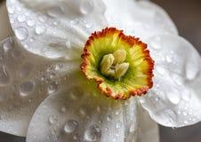 Makro Narcissus Daffodil Royaltyfri Foto