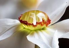 Makro Narcissus Daffodil Dewdrop Royaltyfri Bild