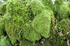Makro- naturalna zielona mech góra w naturze zdjęcia royalty free