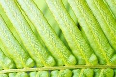 Makro- natury paproci liść Zdjęcie Stock