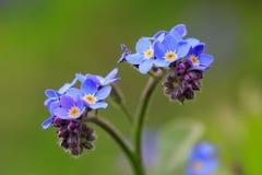 Makro- niezapominajkowi kwiaty Obrazy Royalty Free