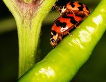Makro-nyckelpiga (Coccinella transversalis) på paprika Arkivbilder