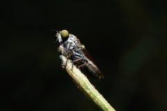 Makro- obber komarnica zdjęcie stock