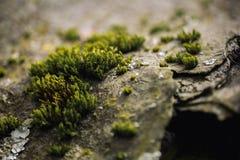 Makro- obrazek zielony mech Zamyka w górę makro- fotografii natura Koloru jaskrawy tło z zadziwiającym bokeh mech liszaju backgro Obraz Royalty Free