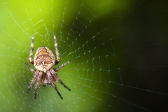 makro ogrodowa pajęczyna Obraz Royalty Free