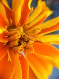 Makro orange Blume Lizenzfreie Stockfotografie
