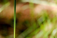Makro- ostrze trawa Zdjęcia Stock