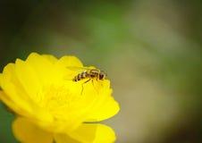 Makro- osy obsiadanie na jaskrawym pięknym kwiacie Obraz Stock