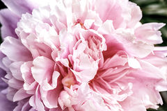 Makro- Płatek Duża piękna różowa peonia obrazy royalty free