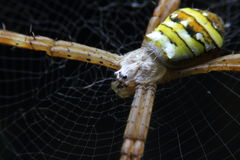 Makro- pająk pajęczyna zdjęcie royalty free