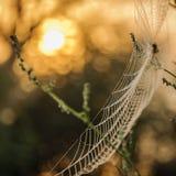 Makro- pająk sieć obraz royalty free