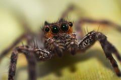 Makro- pająk Obraz Royalty Free