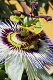Makro- passionflower z dwa pszczołami zdjęcia royalty free