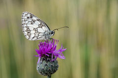 Makro photography - Butterfly Royalty Free Stock Images