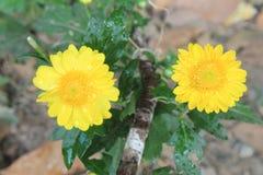Makro- piękny żółty kwiat dla tła, rosa krople lub woda miłość sezonu lub walentynka dnia, opuszcza na kwiacie zdjęcia stock