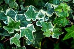 Makro- piękny, bujny zieleni Pospolity bluszcz liście Także znać jako Hedera helix, Angielski bluszcz lub europejczyka bluszcz, fotografia stock