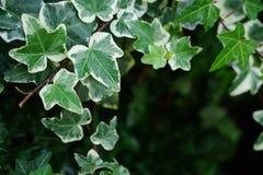 Makro- piękny, bujny zieleni Pospolity bluszcz liście Z rozmyty tła i kopii astronautyczny dostępnym zdjęcia stock