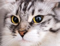Makro- piękny szary kot Obrazy Royalty Free