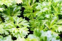 Makro- pietruszka ogródu ziele zakończenie Up Fotografia Stock