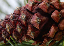 Makro-pinecone, das an der Kiefer hängt lizenzfreie stockfotos