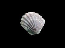 Makro- pojedynczy seashell, odizolowywający na czerni Obrazy Royalty Free