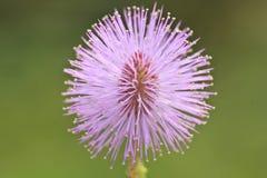 Makro- pollen menchie kwitnie, wyczulona roślina, mimoza Zdjęcie Royalty Free