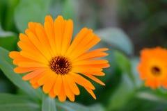 Makro- pomarańczowi piękni kwiaty w ogródzie Bokeh z bliska Fotografia Royalty Free