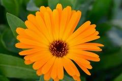 Makro- pomarańczowi piękni kwiaty w ogródzie Bokeh z bliska Zdjęcia Royalty Free