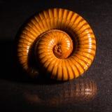 Makro- pomarańczowy i brown krocionóg na szkle z odbiciem, krocionóg coiled, Disambiguation zdjęcia stock