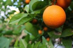Makro- pomarańczowy organicznie dojrzały z unfocused zielonymi liśćmi w tle fotografia stock