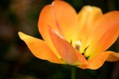 Makro- Pomarańczowy tulipan zdjęcie stock