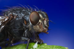 Makro- portret komarnica Fotografia Stock