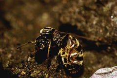 Makro- przegięta caucasian mrówka Obrazy Royalty Free