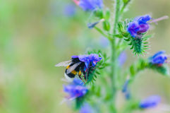 Makro- pszczoła Zdjęcia Royalty Free